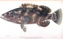 Epinephelus adscensionis (Osbeck) Photo