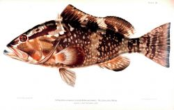 Epinephelus morio (Cuvier & Valenciennes) Photo