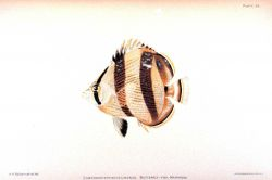 Chaetodon striatus Linnaeus Photo