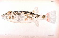 Spheroides testudineus (Linnaeus) Photo