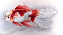 Oranda Shishigashira goldfish, Plate XXI in: