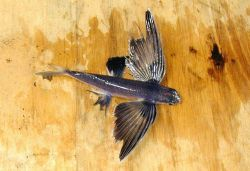 A species of flying fish. Photo