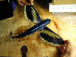 A species of flying fish. Image