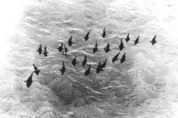 Aerial photograph of school of 400-500 pound bluefin tuna off Cat Cay, Bahamas Islands Image