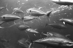 Yellowfin tuna - Thunnus albacares. Photo