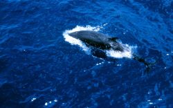 Orca (killer whale) from above Photo