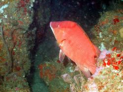 A hogfish on a ledge. Image