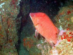 A hogfish on a ledge. Photo