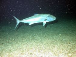 An amberjack, Seriola dumerili. Photo
