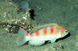 A red hogfish (Decodon puellaris) Image