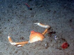 A small fish confronting a large crab. Image