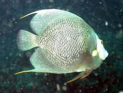 A gray angelfish. Image