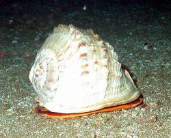 A large helmut shell. Image