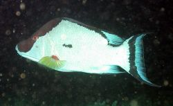 Order - Perciformes; Family - Labridae; Genus - Lachnolaimus; Species - maximus Photo