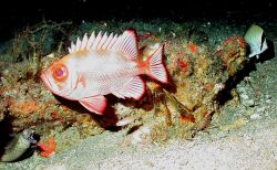 A short bigeye (Pristigenys alta) and a moray eel on the left of the image. Image