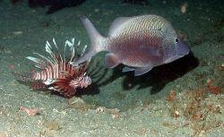 A lionfish, Pterois volitans, and a white grunt (Haemulon plumieri) Photo