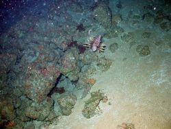 A lone lionfish, Pterois volitans, near a rocky ledge. Photo