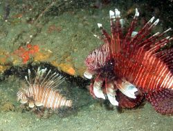 A large and small lionfish, Pterois volitans. Photo