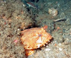 Oyster toadfish, Opsanus tau. Photo
