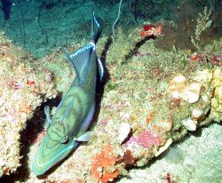 Queen triggerfish, Balistes vetula. Photo