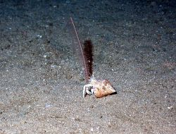 A sea pen and a hermit crab. Image