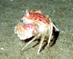 A shameface crab. Image