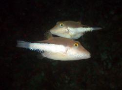 Sharpnose pufferfishes. Photo