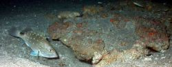 A snowy grouper (Epinephelus niveatus). Image