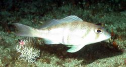 A tattler fish (Serranus phoebe). Photo