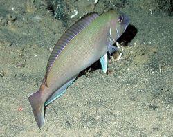 A tilefish (Lopholatilus chamaeleonticeps). Image