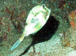 A scrawled cowfish ( Acanthostracion quadricornis). Photo
