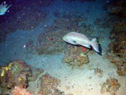 Yellowmouth grouper (Mycteroperca interstitialis). Photo