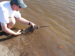 A baby small-toothed sawfish (Pristis pectinatus). Image