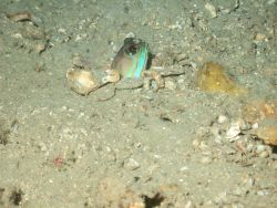 A jawfish peeking his head out of his home on a sandy bottom. Image
