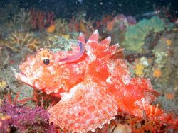 A beautiful scorpionfish. Image