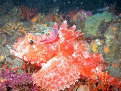 A beautiful scorpionfish. Image