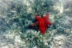 A starfish in turtle grass. Image