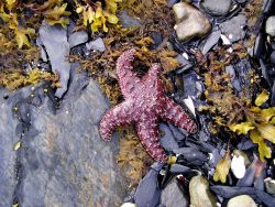 A starfish and other organisms on the shores of Prince William Sound. Image
