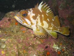 Gopher rockfish perched on rock Photo