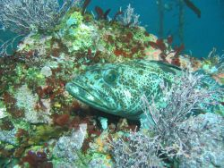 Lingcod hiding motionless on a reef Photo