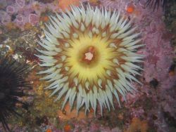 Anemone in the kelp forest. Image