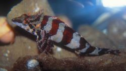 A small painted greenling (Oxylebius pictus) Image