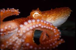 A small Pacific octopus Image