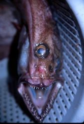 Arrowtooth flounder eye, fish was trawl caught Image