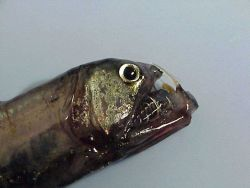 Head of a pacific Viperfish caught during trawling operations. Photo
