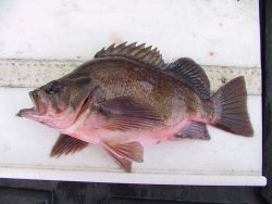 A dusky rockfish with a case of scoliosis Image
