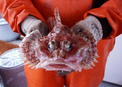 An Irish Lord sculpin front view. Image