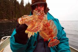 An Irish Lord sculpin side view, held after jigging during a winter beach and ROV cruise. Image