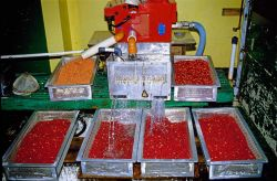 An egg sorting machine at work, note top right basket with mixed live and dead eggs, top left basket with dead eggs and clean live eggs in front row. Image