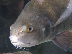 Redfish face taken while fish swimming in tank. Photo